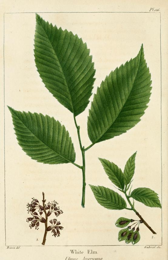 "Ulmus americana plate from ""North American Sylva"""